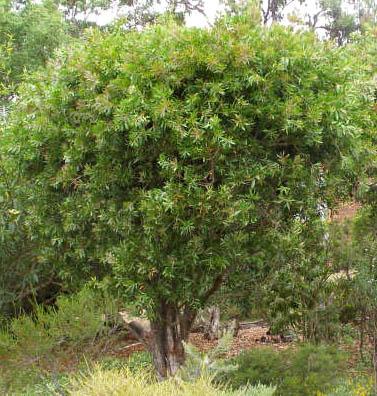 pruned_callistemon