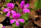 pelargonium_rodneyanum