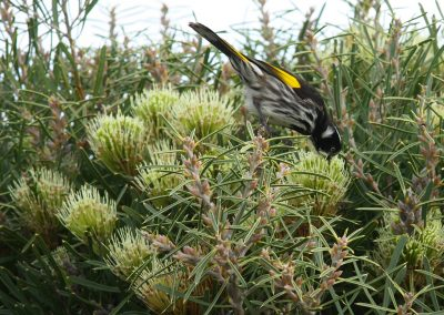 New Holland honey eater in Hakea corymbosa