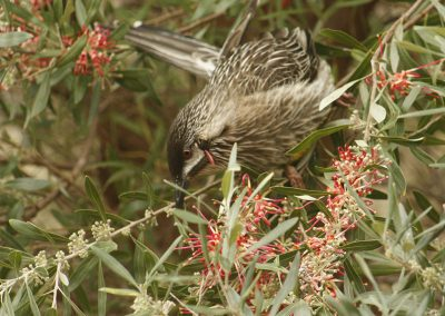 Wattlebird on Grevillea olivacea (red form)